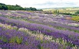 Yorkshire Lavender & Helmsley Day Trip 2019