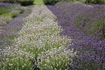 Yorkshire Lavender & Helmsley Day Trip 2020